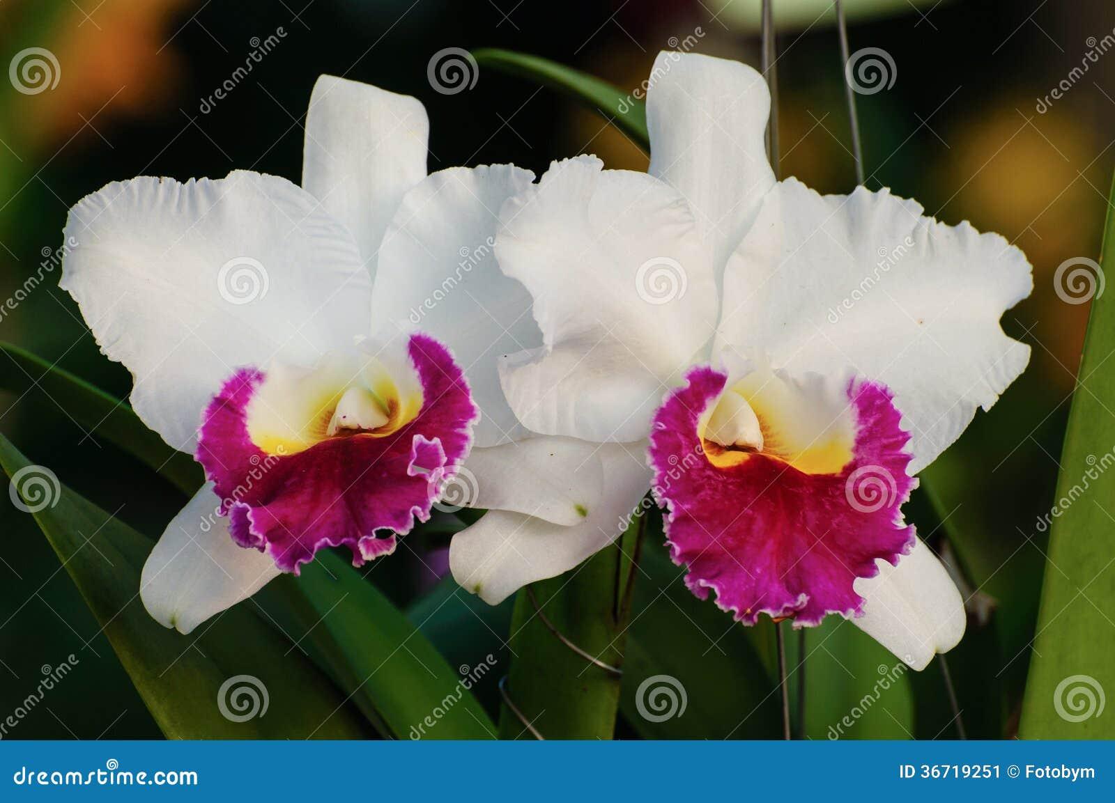 Flores blancas de la orquídea , Cattleya