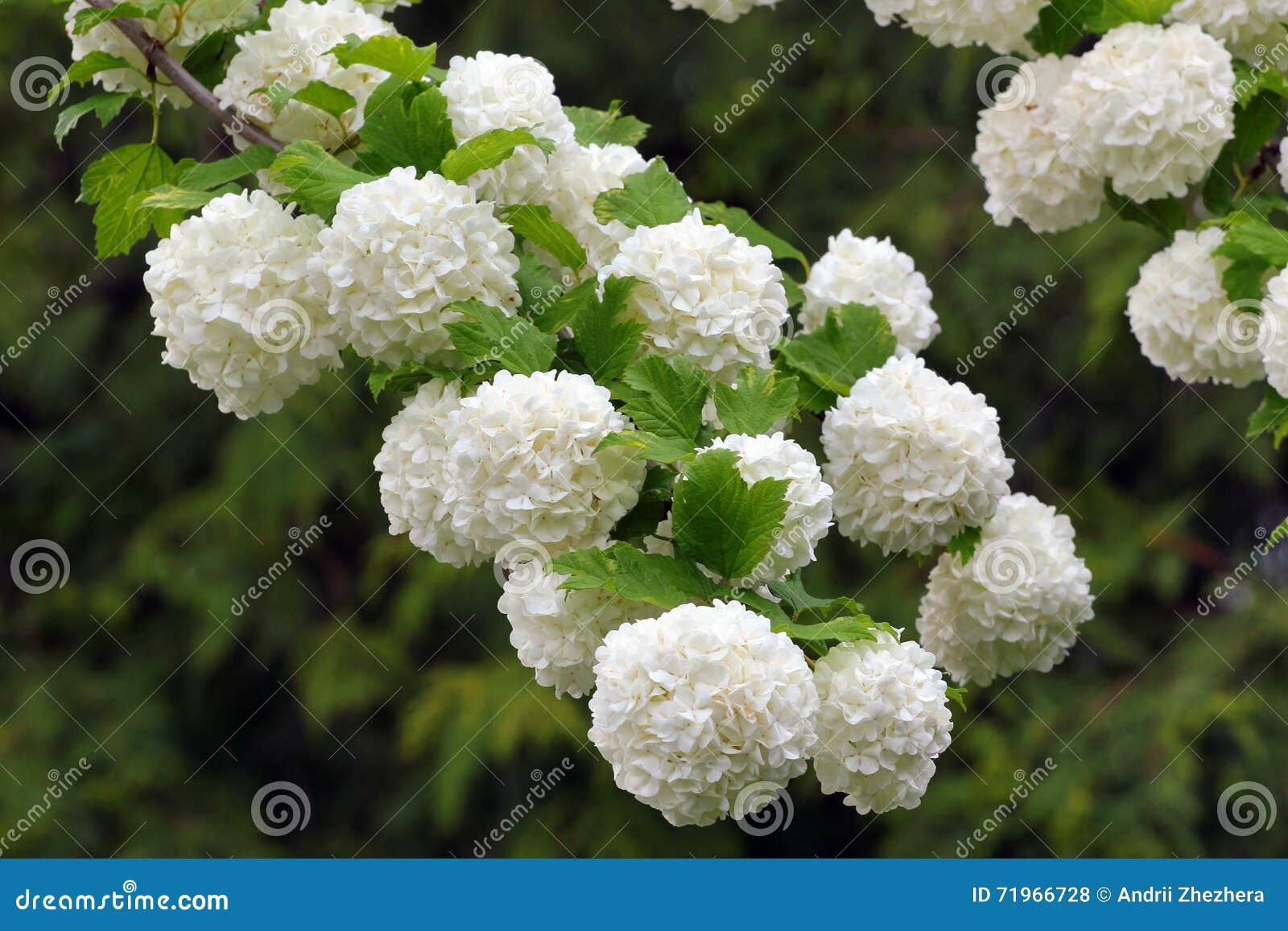 flores blancas del rbol floreciente de la bola de nieve foto de archivo imagen 71966728. Black Bedroom Furniture Sets. Home Design Ideas