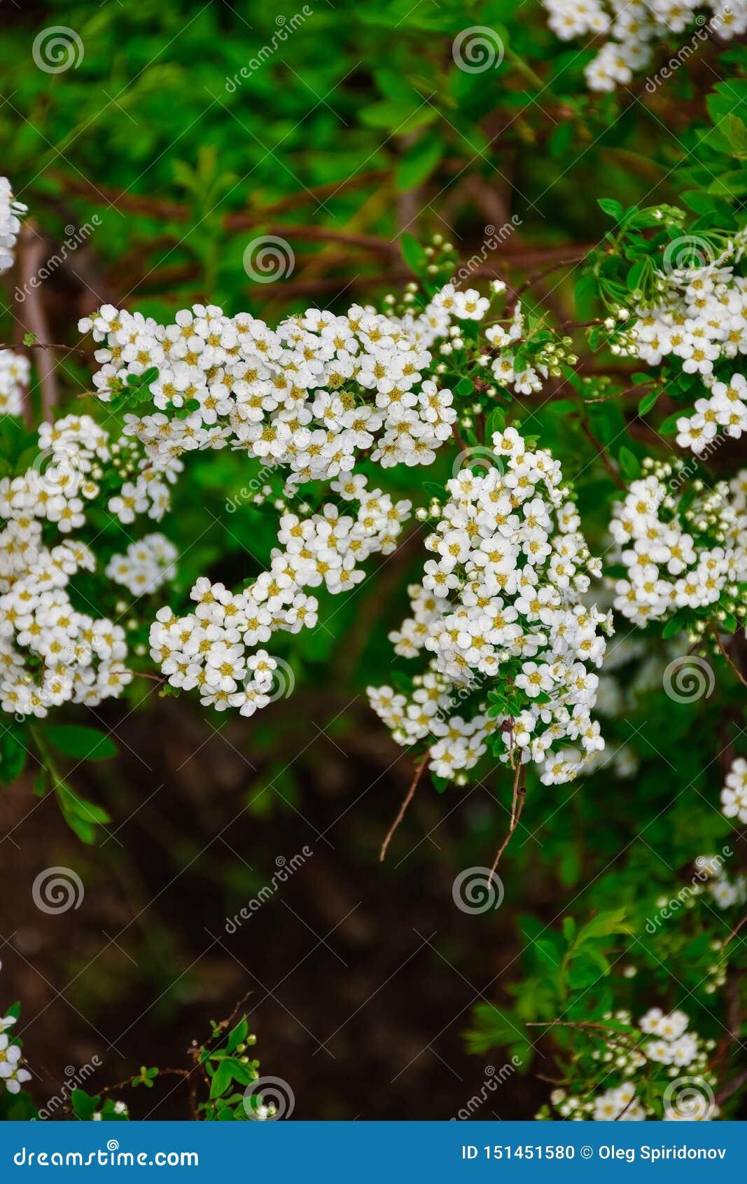 Flores blancas del cierre del spirea para arriba