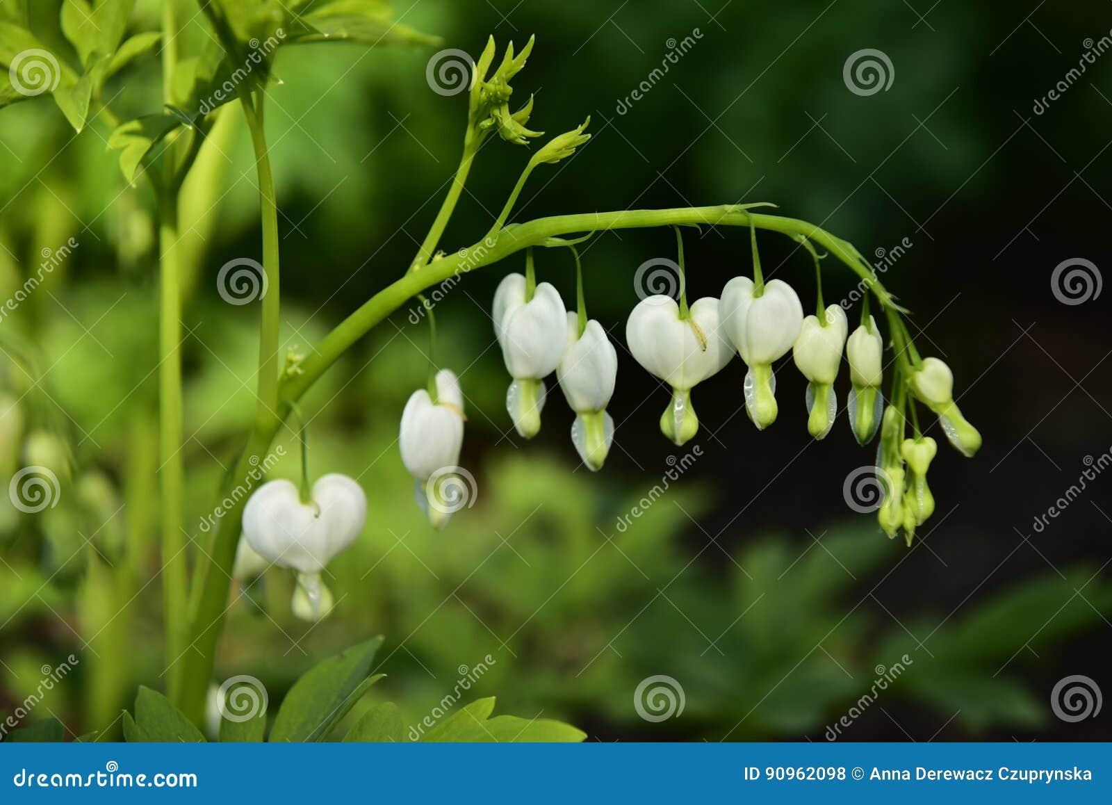Flores blancas del corazón