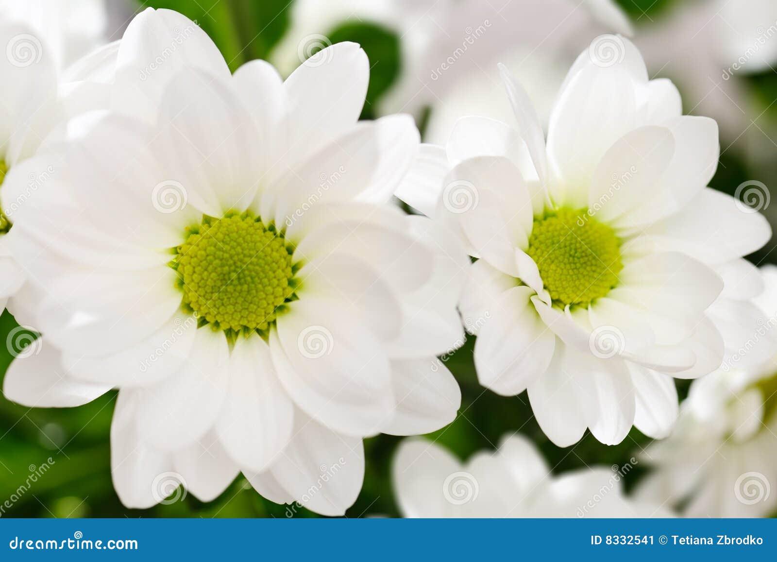Flores Blancas Del Crisantemo Imagen de archivo Imagen de botnica