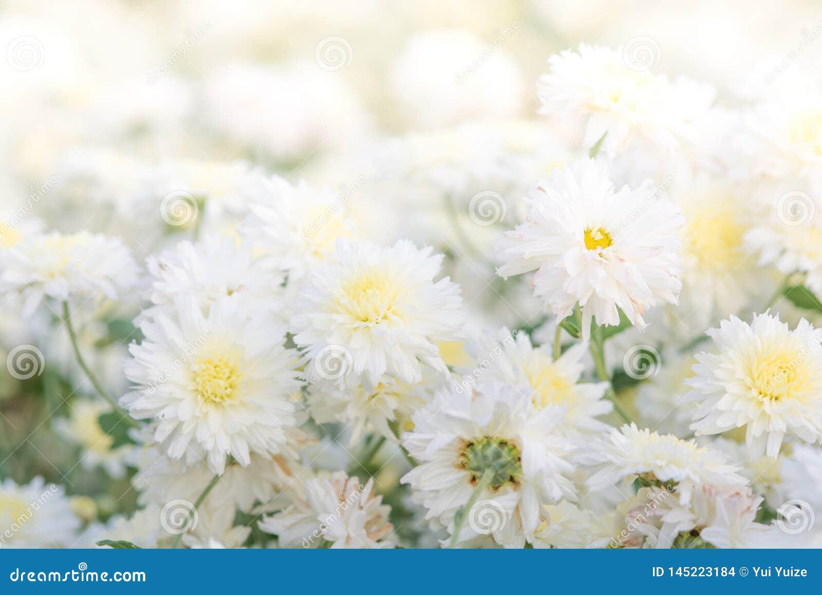 Flores blancas del crisantemo