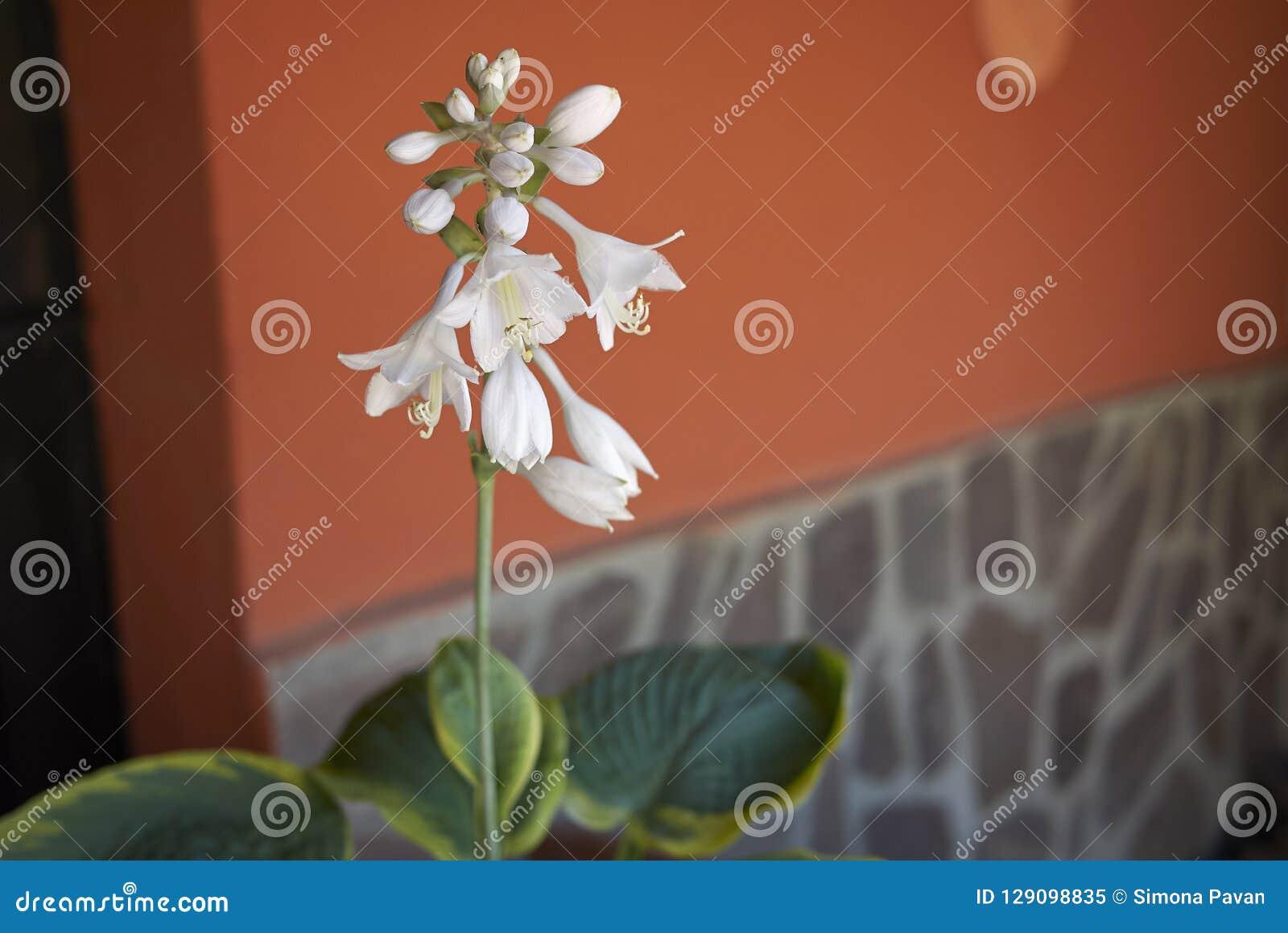 Flores blancas del hosta