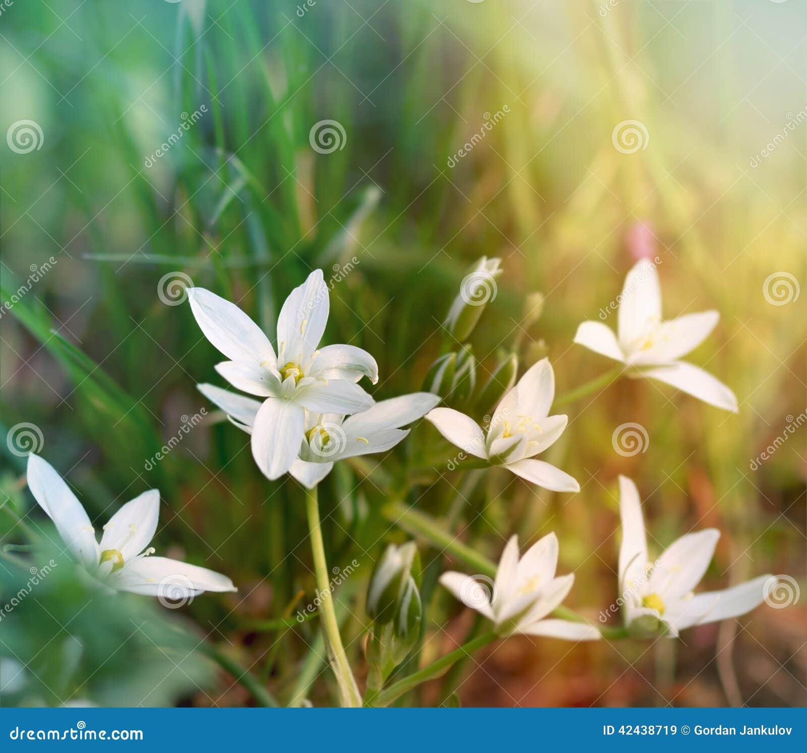 Flores blancas del prado