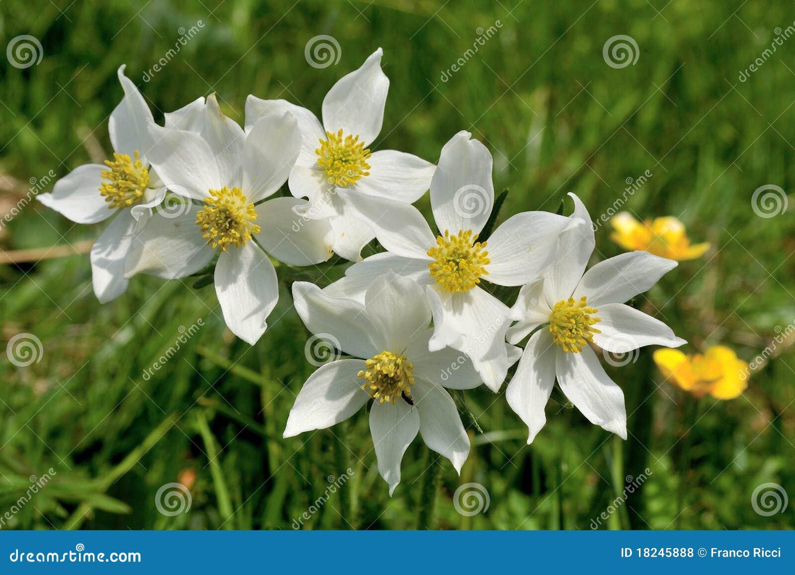 De Flores En La Montana: Flores Blancas Del Ranúnculo En La Montaña De Italia