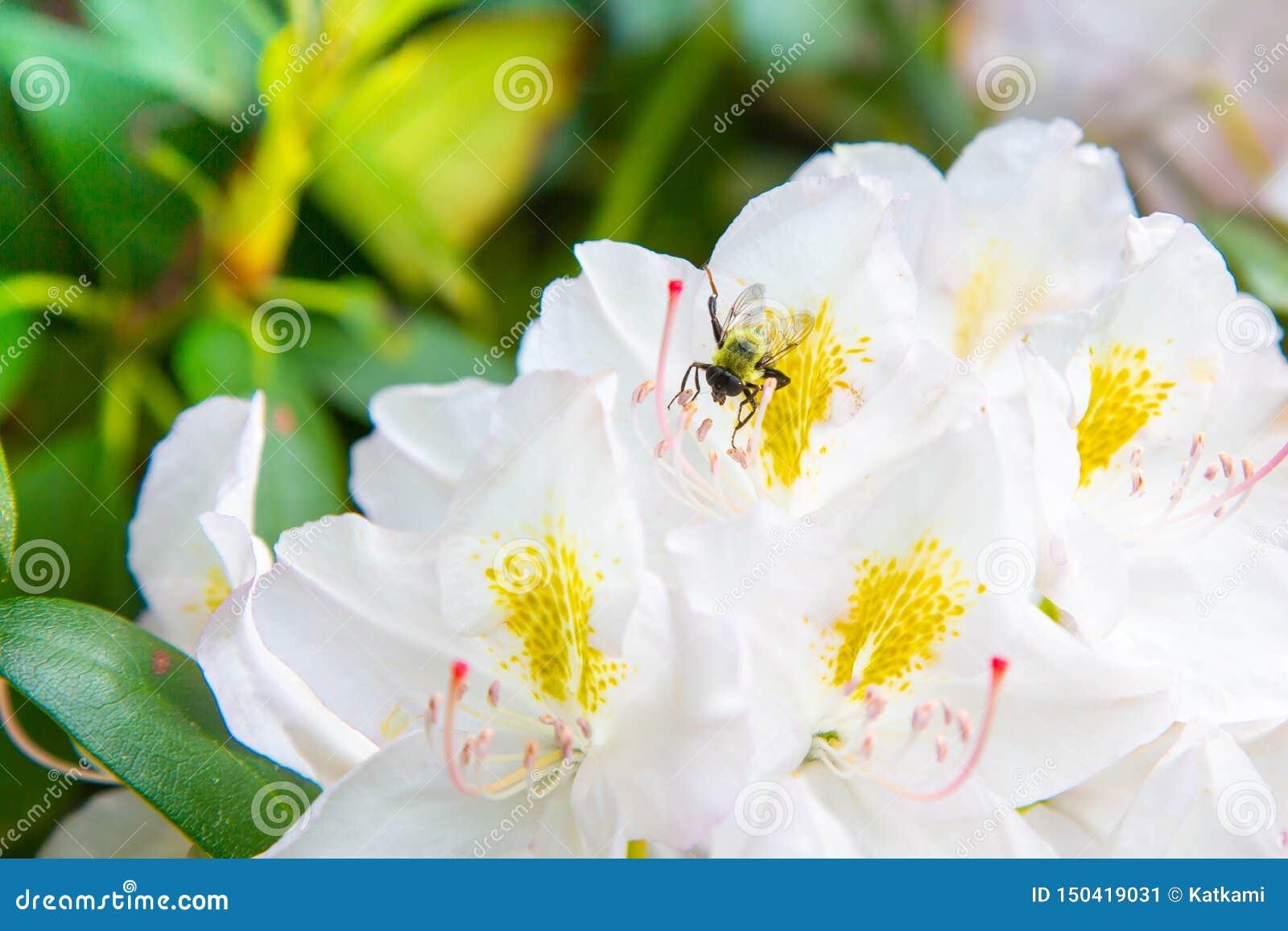 Flores blancas del rododendro que florecen con Honey Bee