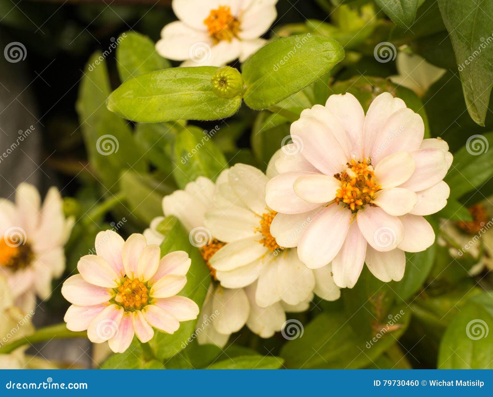 Flores blancas del Zinnia del rosa de T