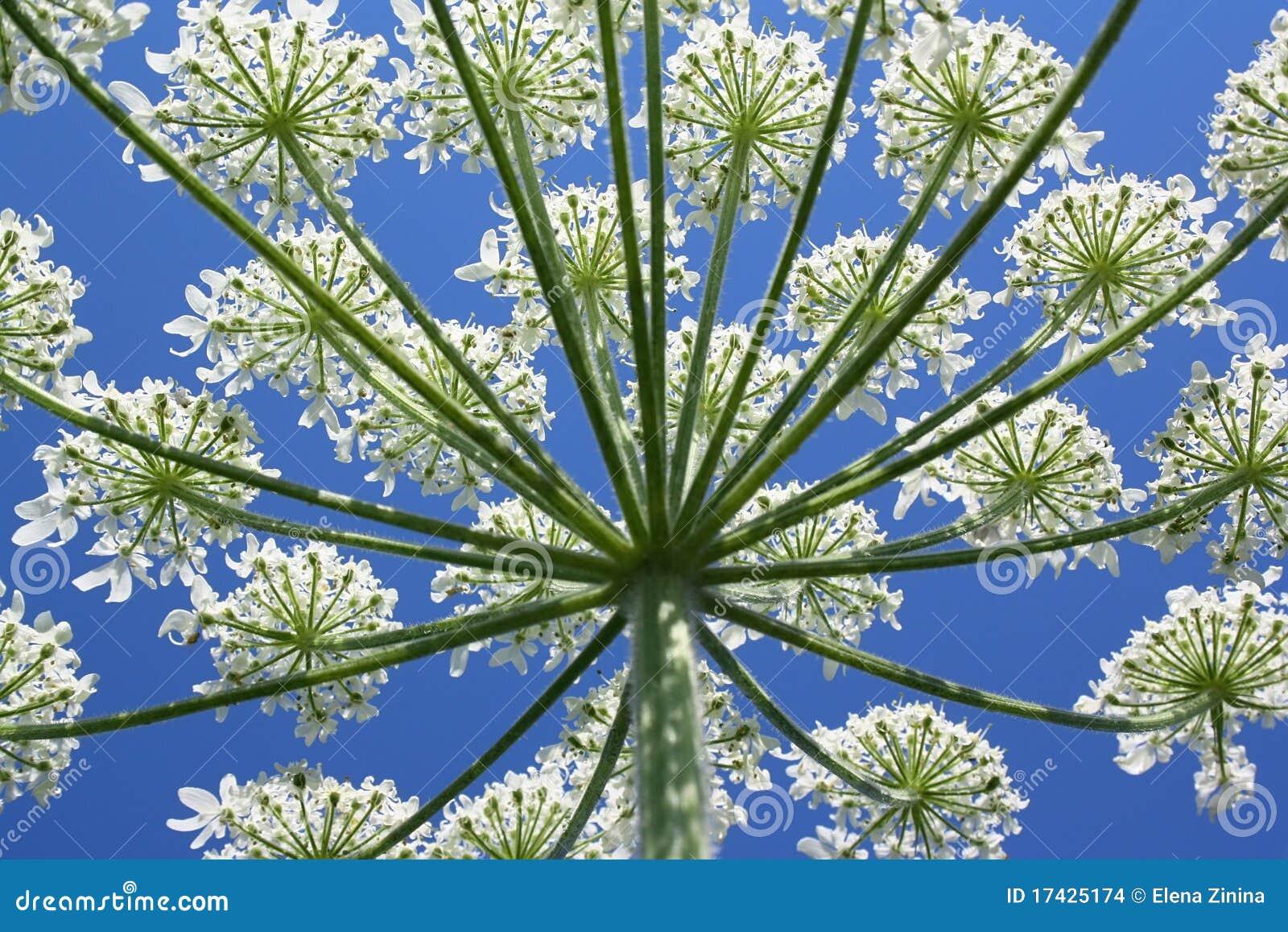 Flores Blancas Florecientes De La Planta Silvestre Foto De Archivo