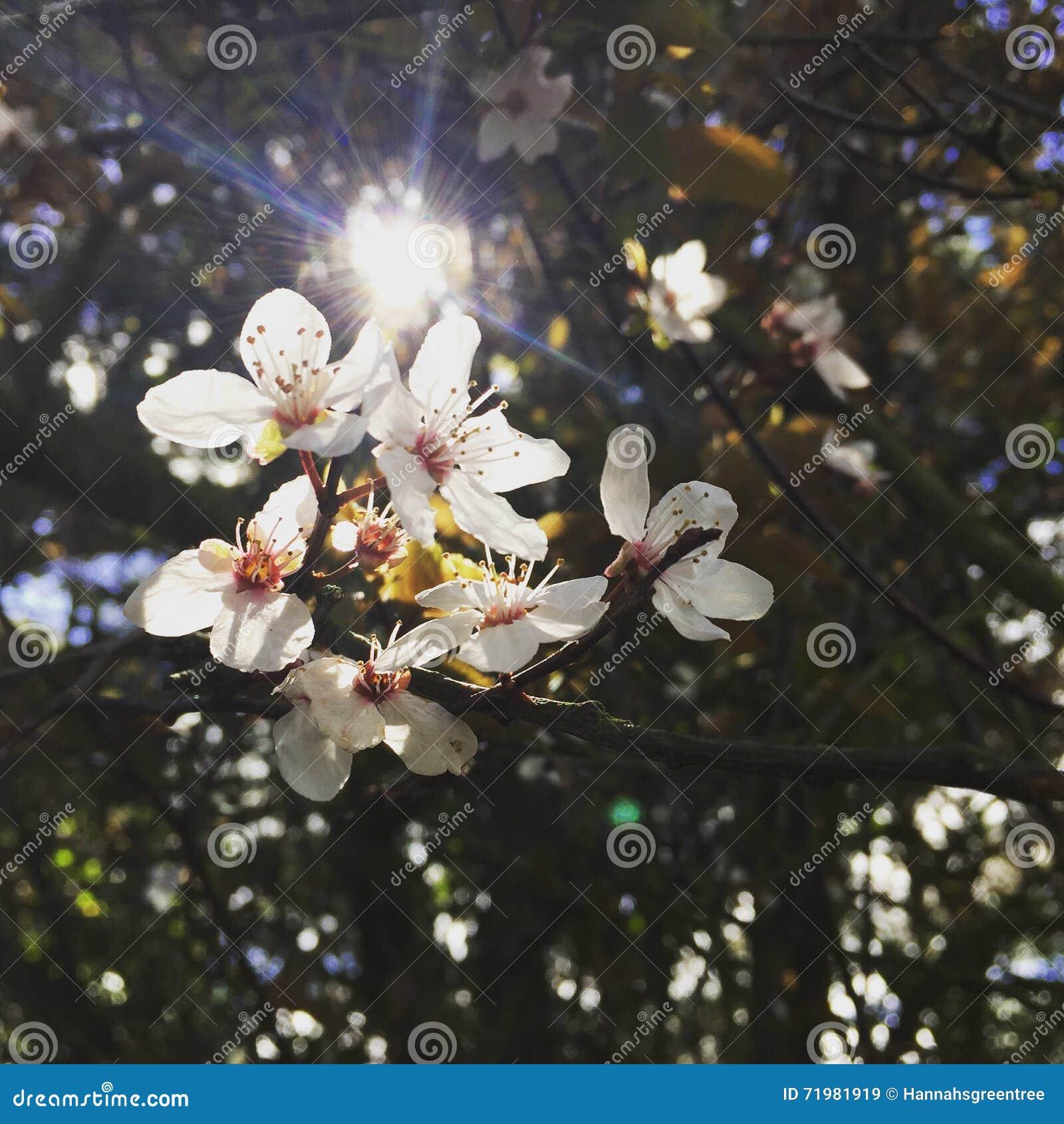 Flores blancas hermosas con Sun que brilla a través de los árboles