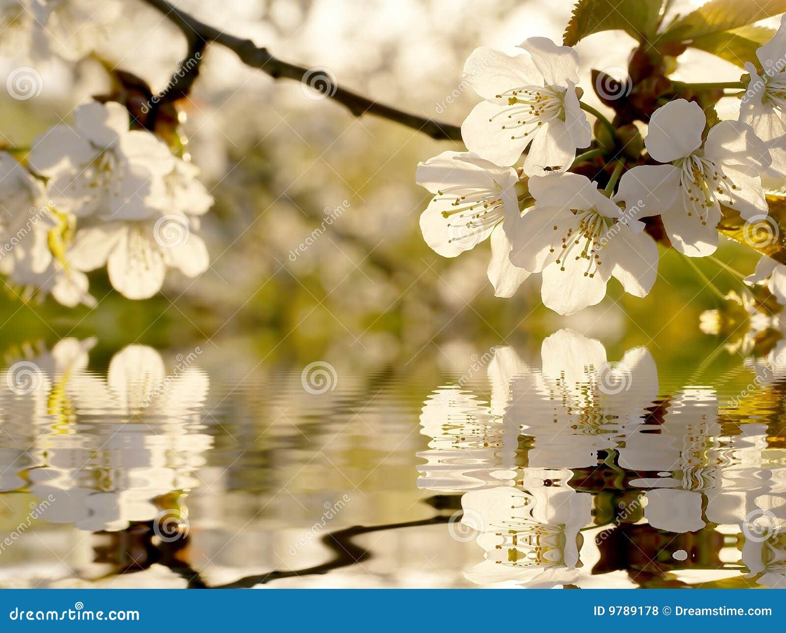 Flores Blancas Hermosas Del Arbol Del Resorte Foto De Archivo