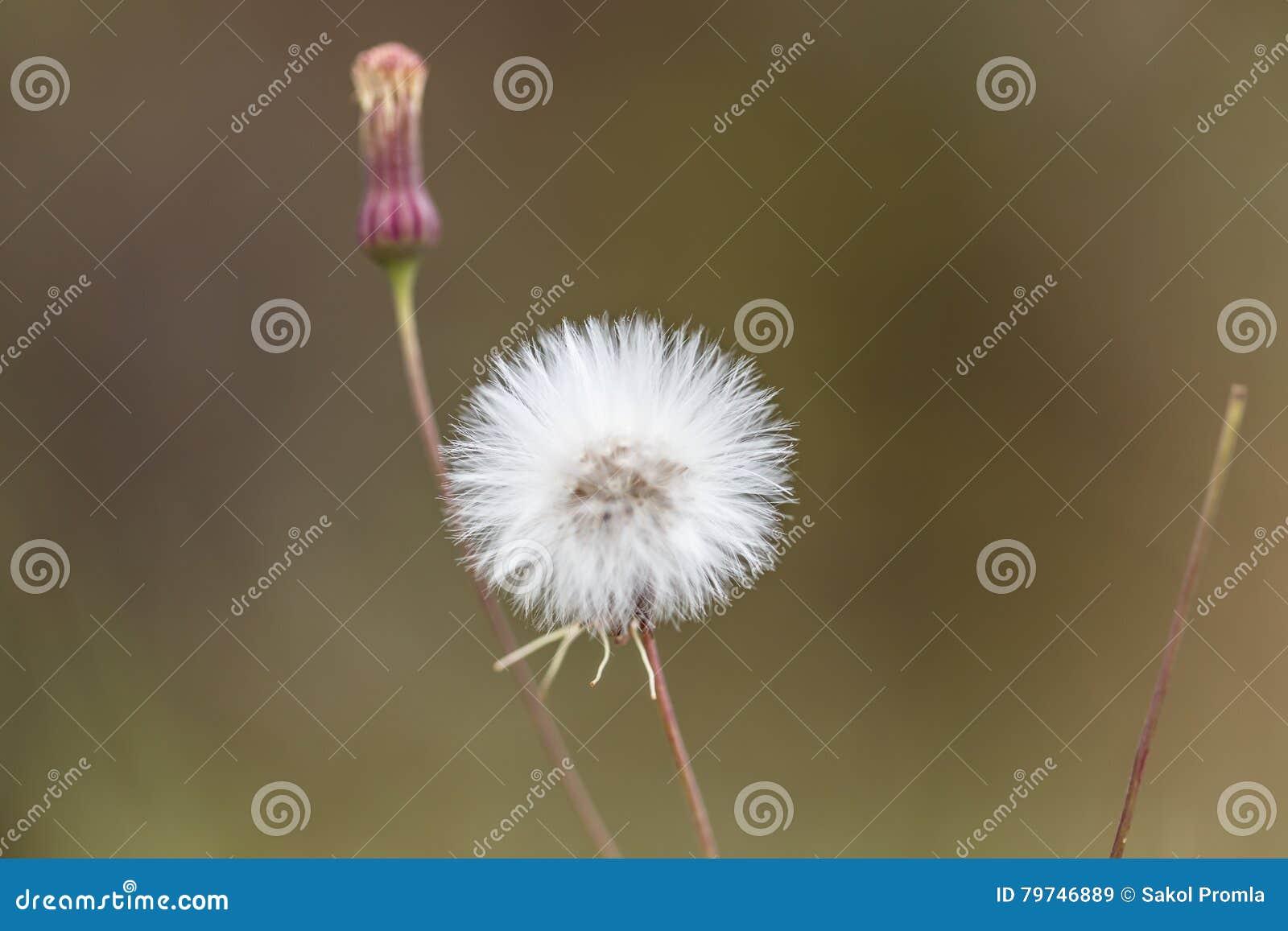 Flores blancas hermosas del diente de león