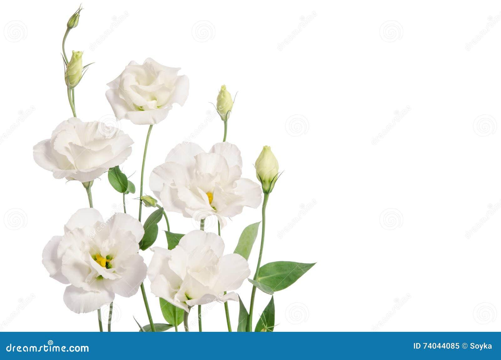 Flores Blancas Hermosas Del Eustoma Imagen De Archivo Imagen De