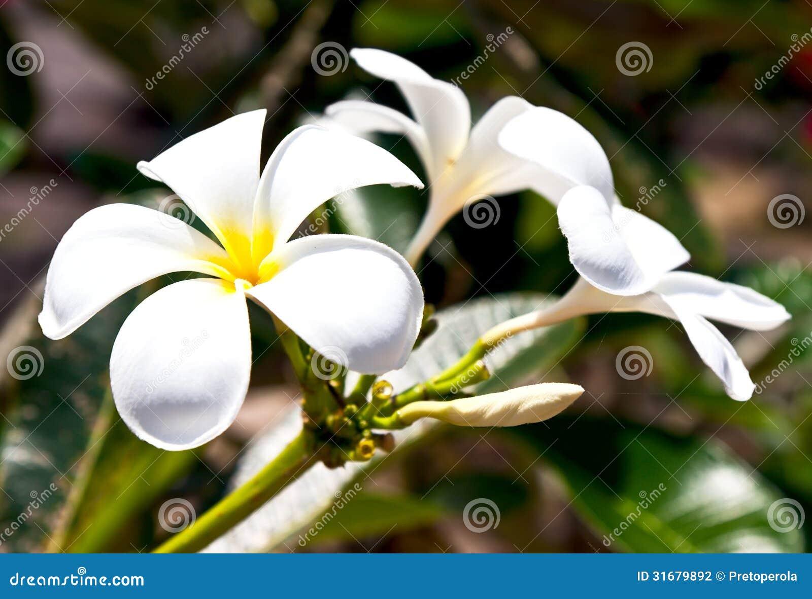 Flores Blancas Hermosas Del Frangipani Foto De Archivo Imagen De