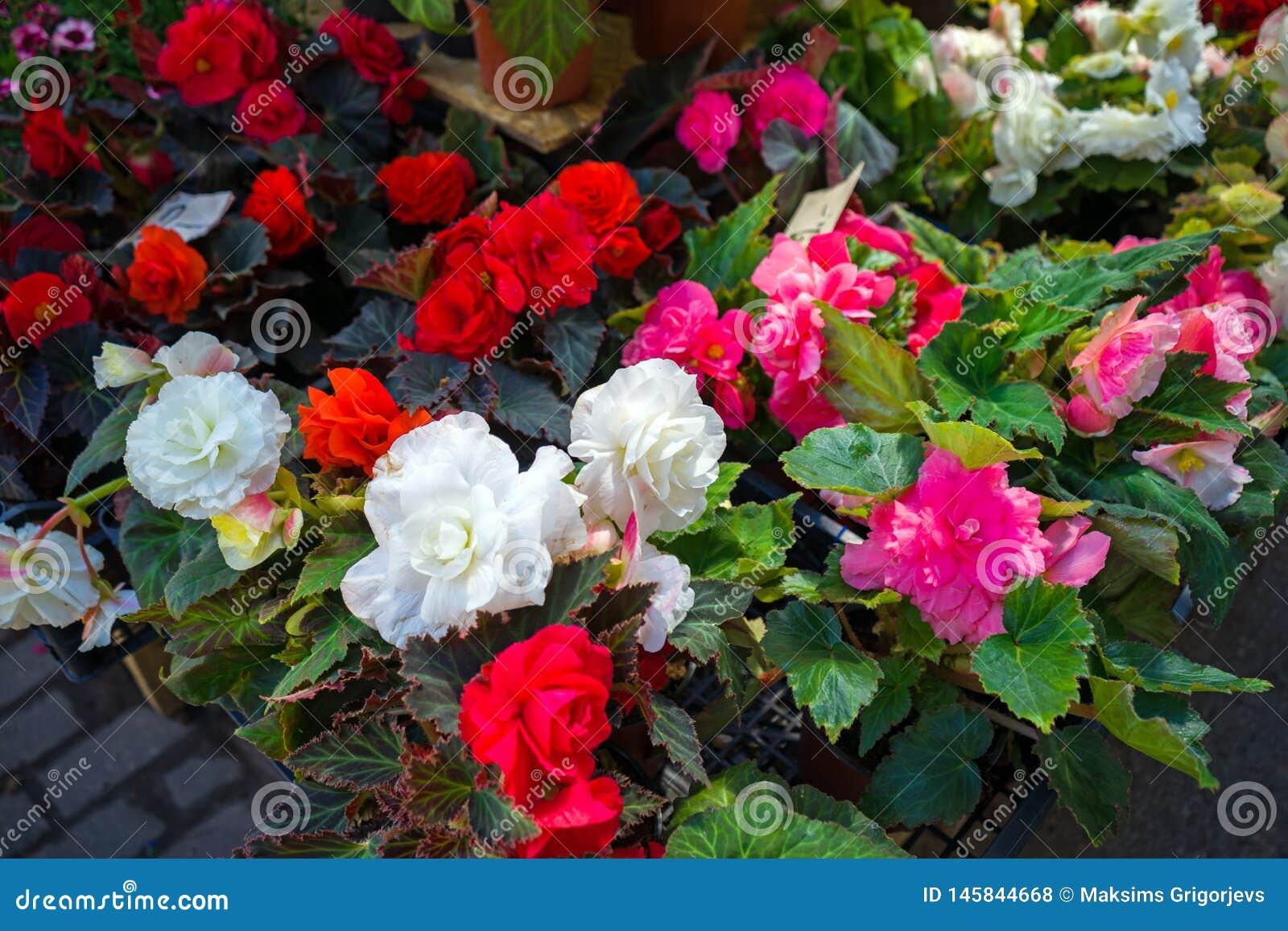 Flores blancas, rojas y rosadas de la begonia en potes en venta en la exhibición del mercado del jardín