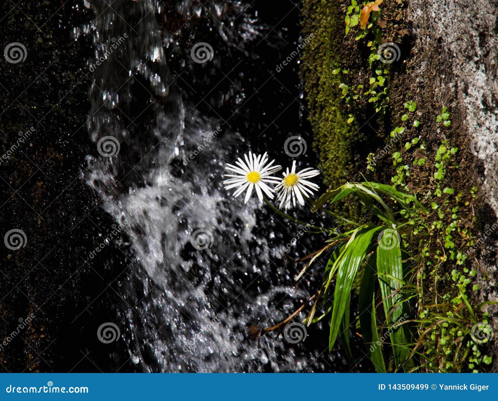 Flores blancas y amarillas hermosas de la margarita delante de una cascada