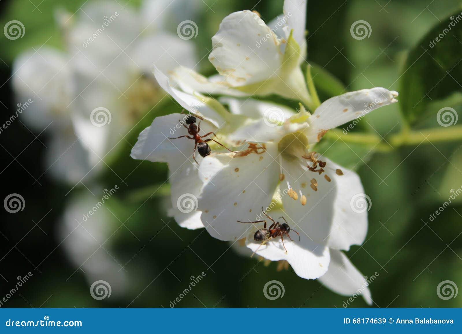 Flores Blancas Y Hormigas En El Jardín Imagen de archivo - Imagen de ...