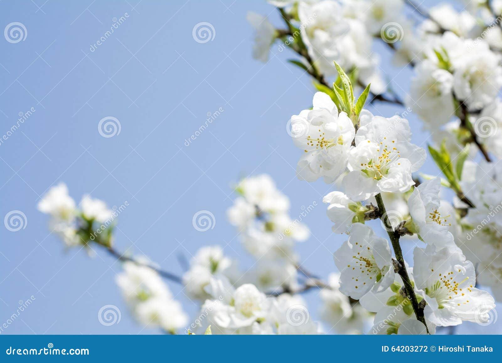 Flores blancos del melocotón