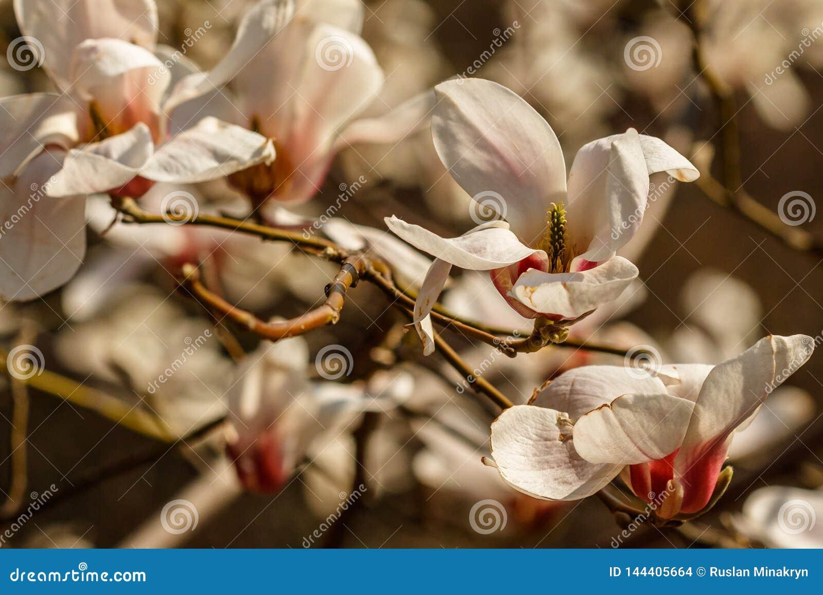 Flores bonitas da magnólia com gotas de água