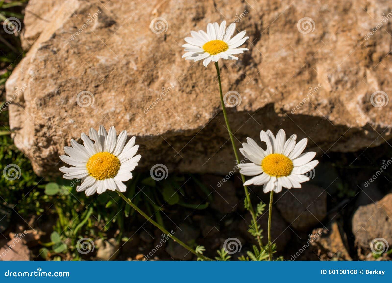 Flores bonitas da margarida na natureza