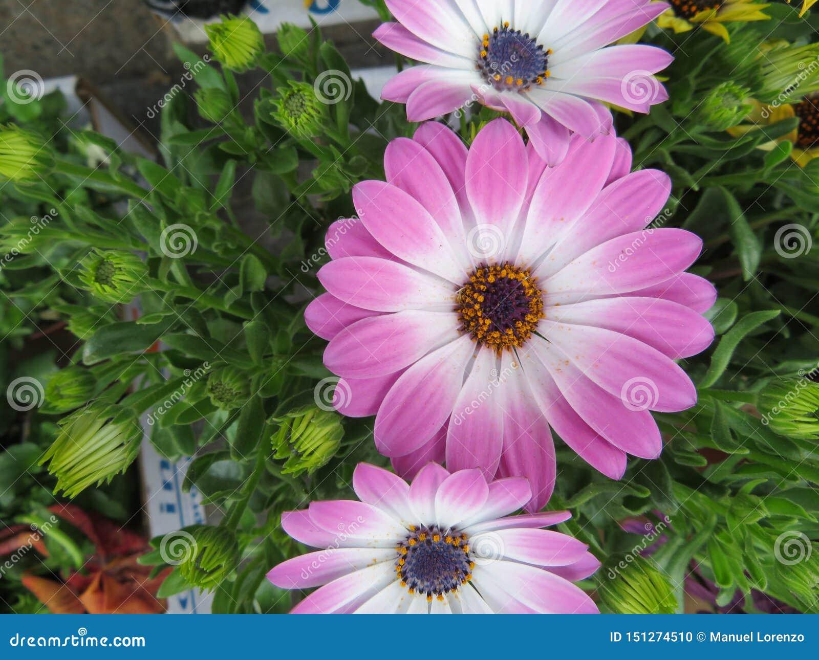 Flores bonitas de cores intensas e da grande beleza
