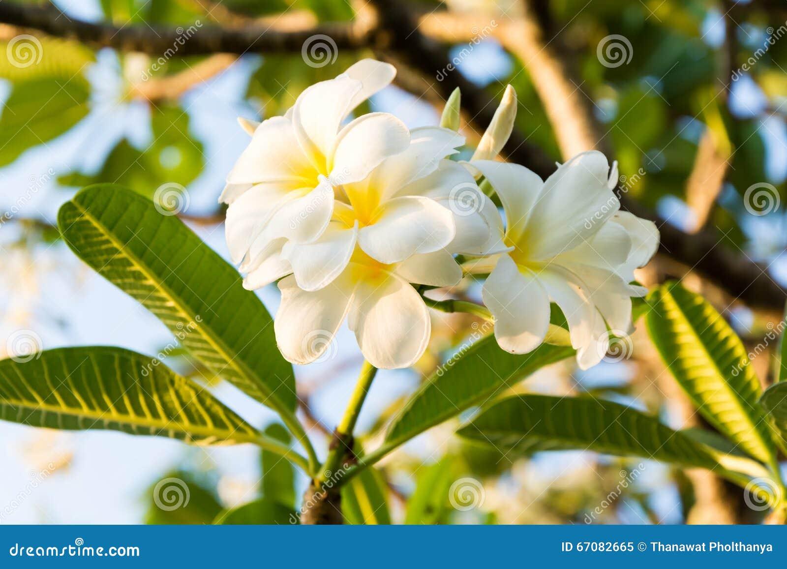 Flores bonitas do plumeria