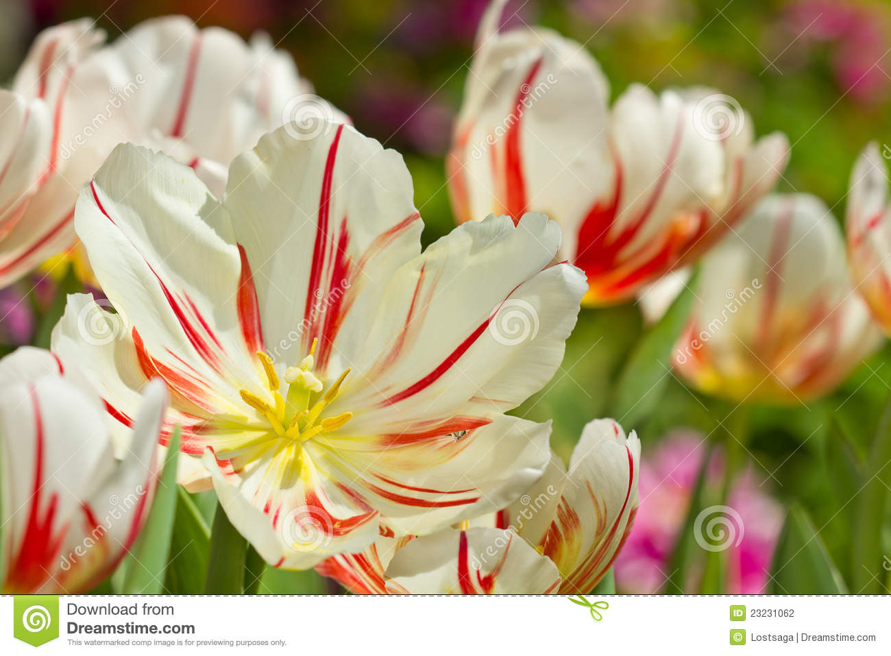 flores no jardim do amor : flores no jardim do amor:Beautiful Spring Flowers Tulips