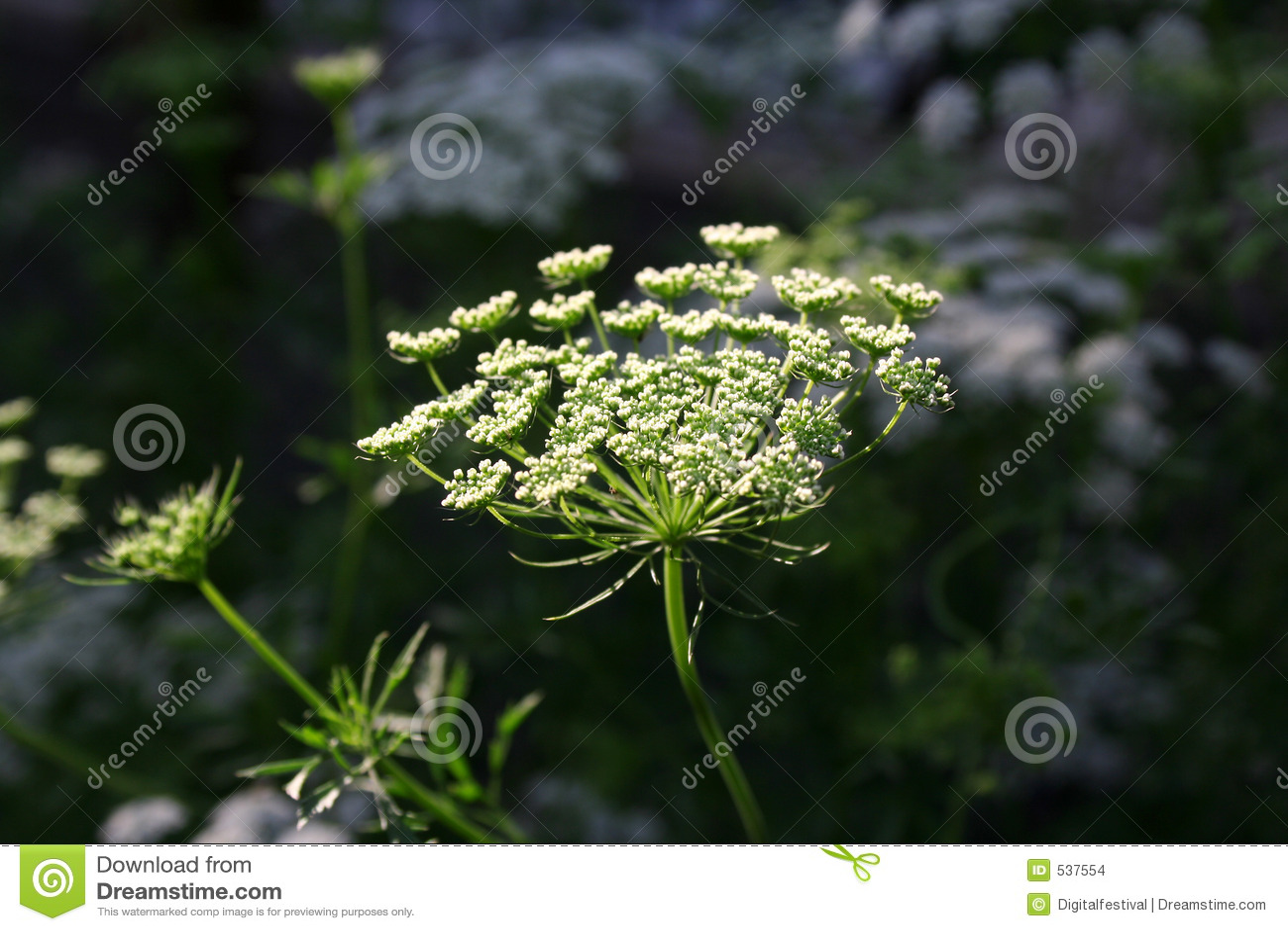 Flores brancas do coentro
