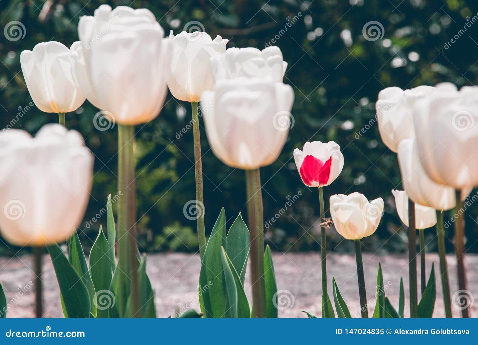 Flores brancas do tulip
