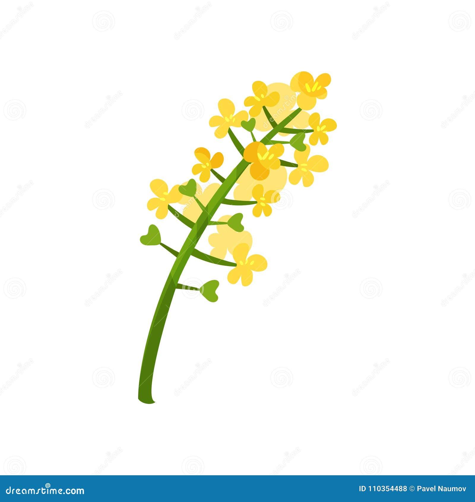 Flores brilhante-amarelas pequenas na haste verde Tema floral Planta de florescência Elemento para o conceito sobre o óleo de col