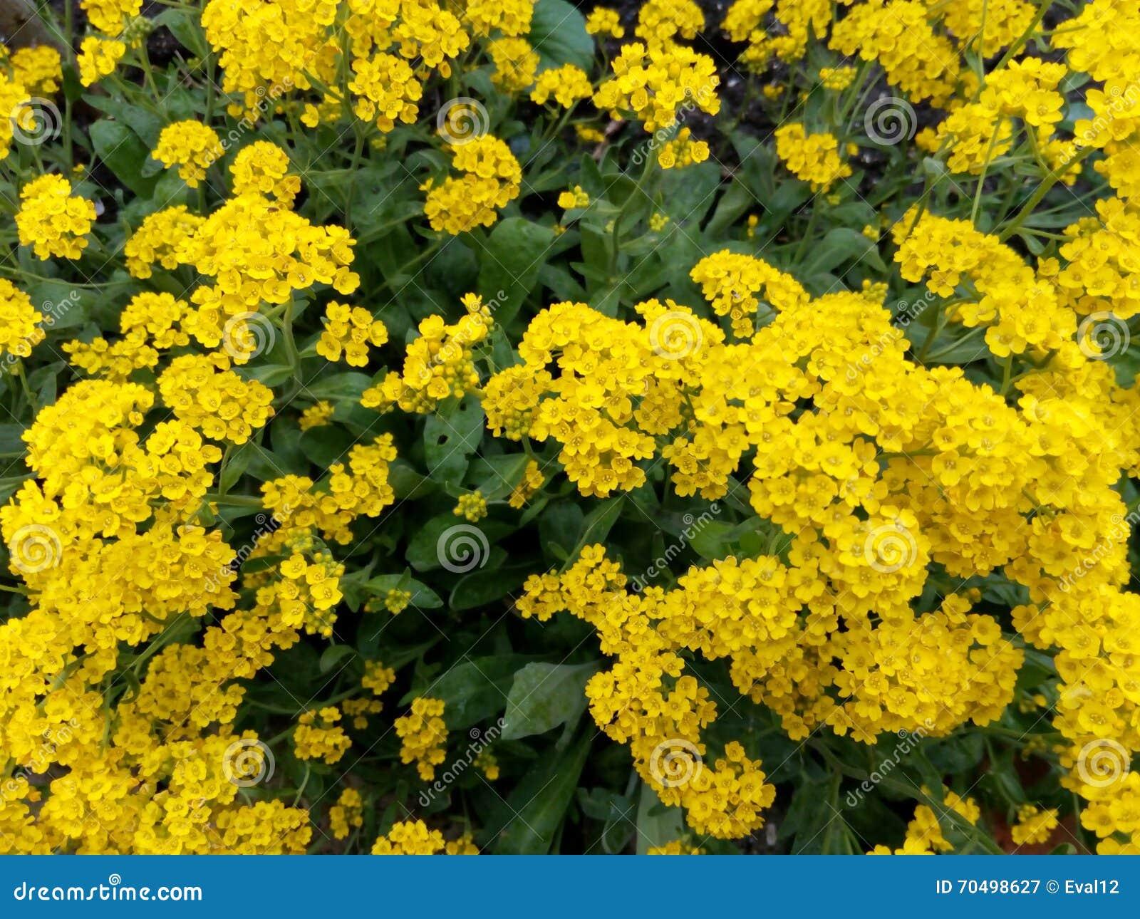 Flores Brilhantes Amarelas Entre O Arbusto Verde Das Folhas Na Primavera Foto de Stock - Imagem ...