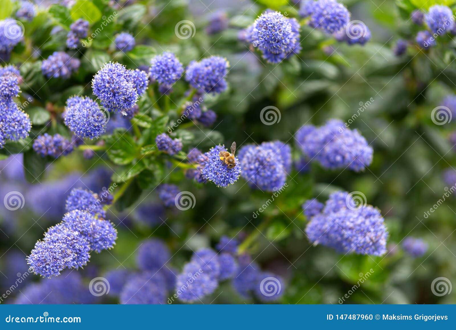 Flores californianas p?rpuras florecientes hermosas de la lila, repens del thyrsiflorus de Ceanothus en jard?n de la primavera