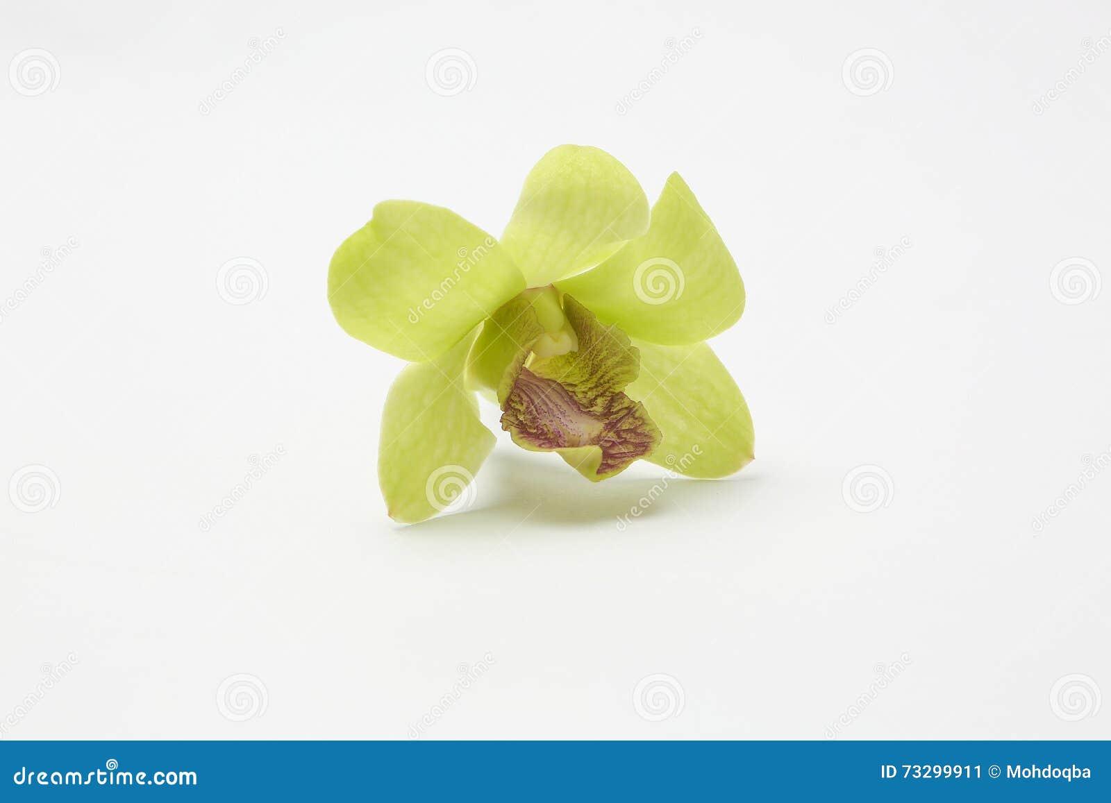 Flores cerosos brancas verdes da orquídea