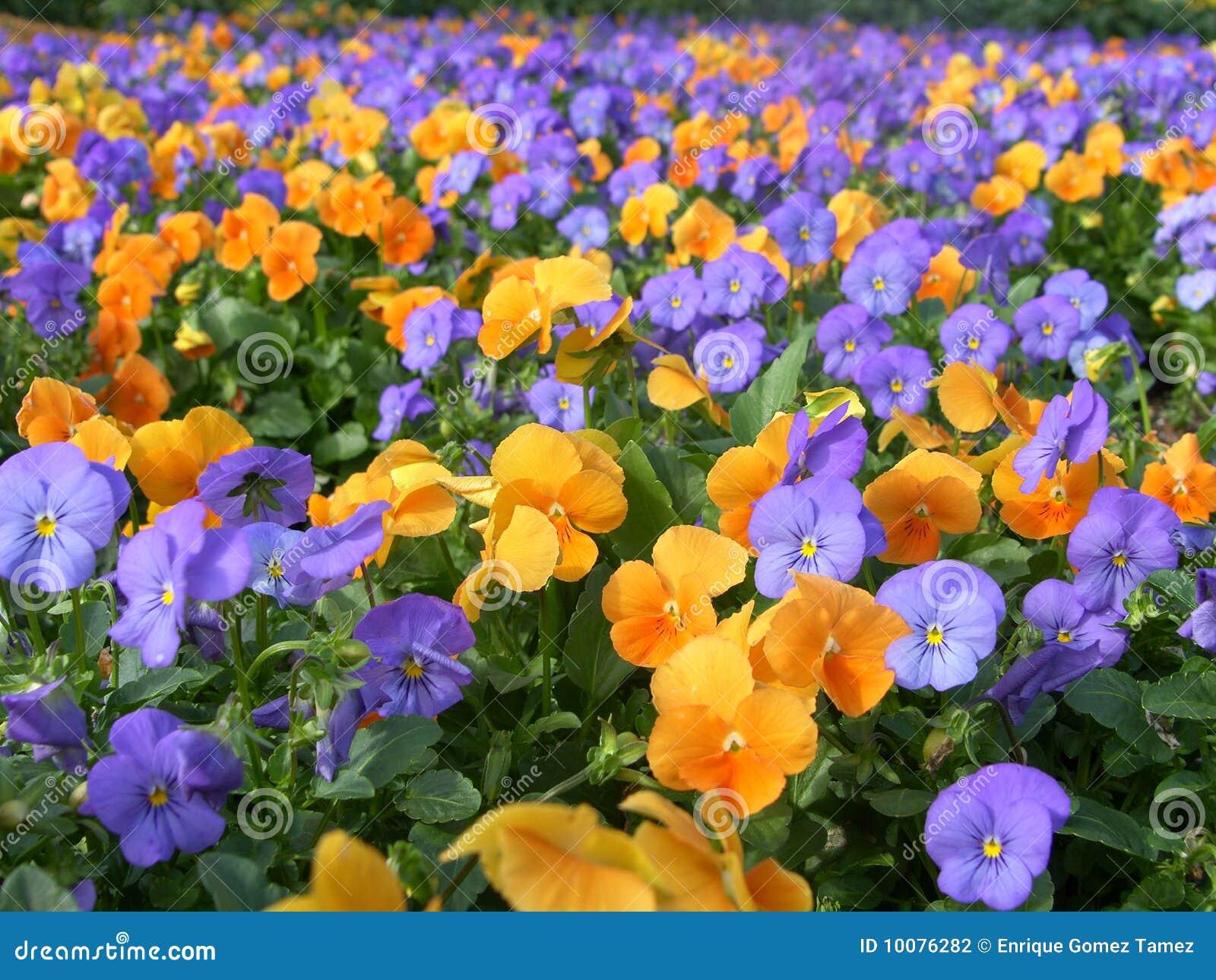 flores coloridas jardim:Flores Coloridas Fotografia de Stock – Imagem: 10076282