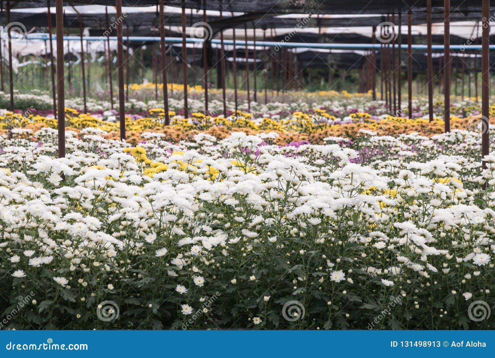 Flores coloridas do crisântemo em um jardim Os mums às vezes chamados florescem