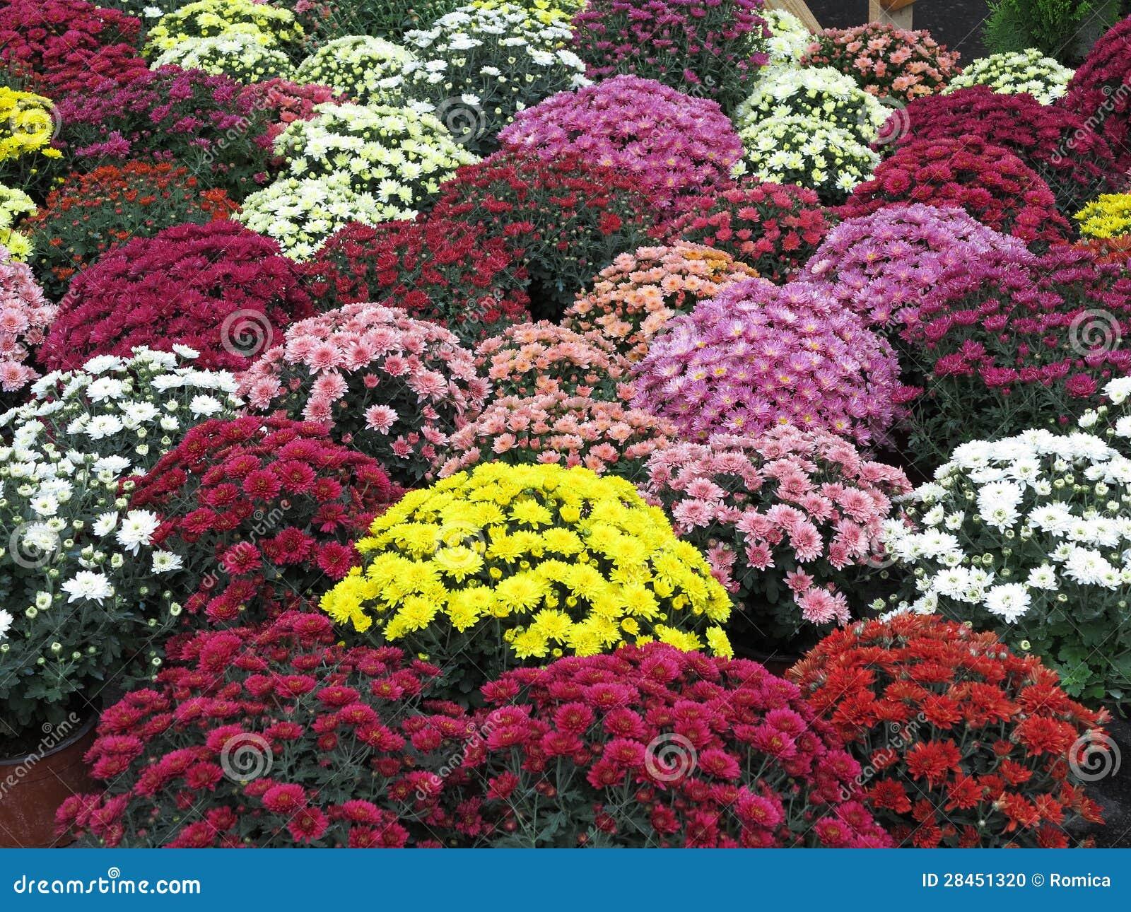 flores coloridas jardim:Colorful Flower Garden