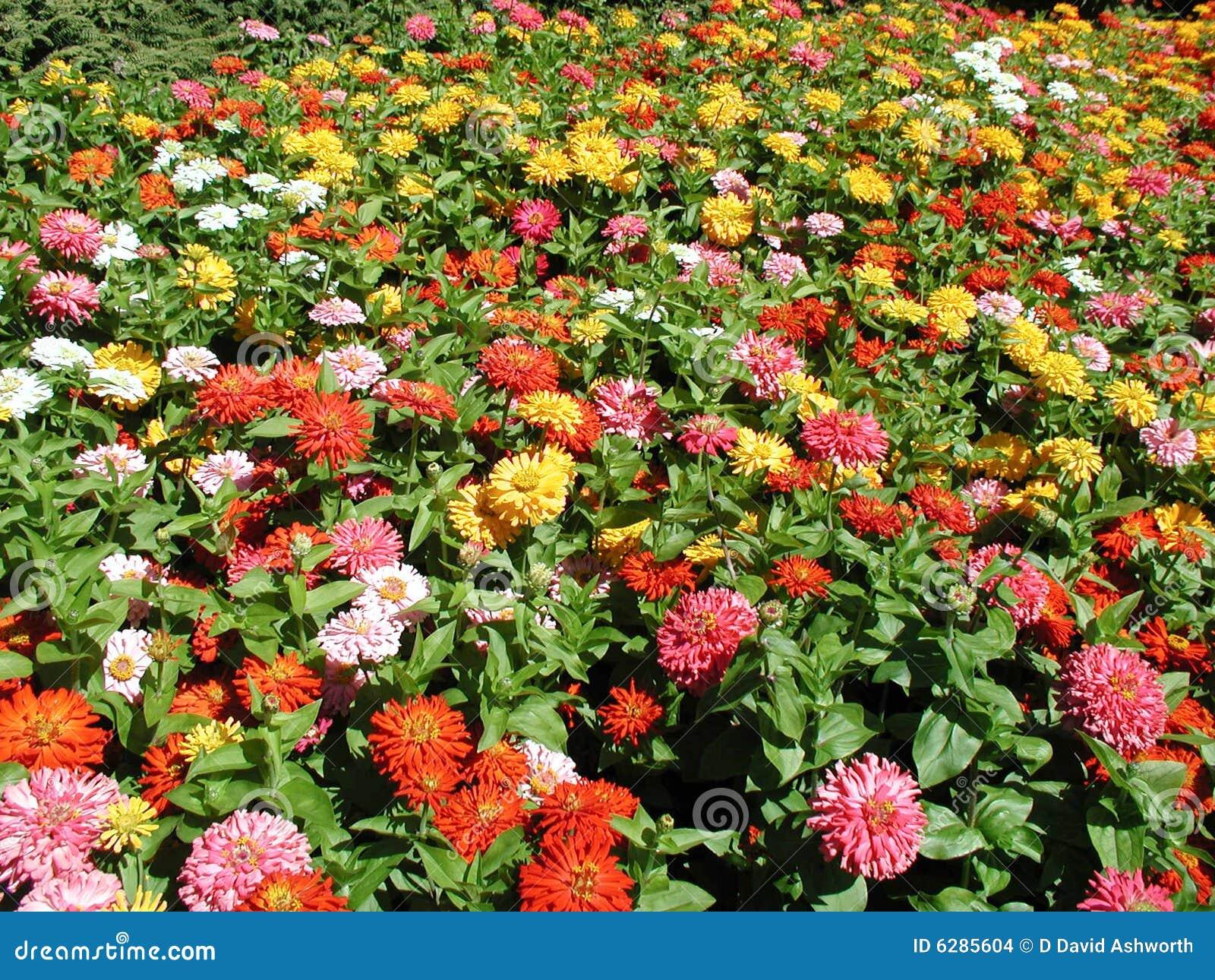 flores de jardim fotos:Massa das flores coloridas que florescem no jardim.