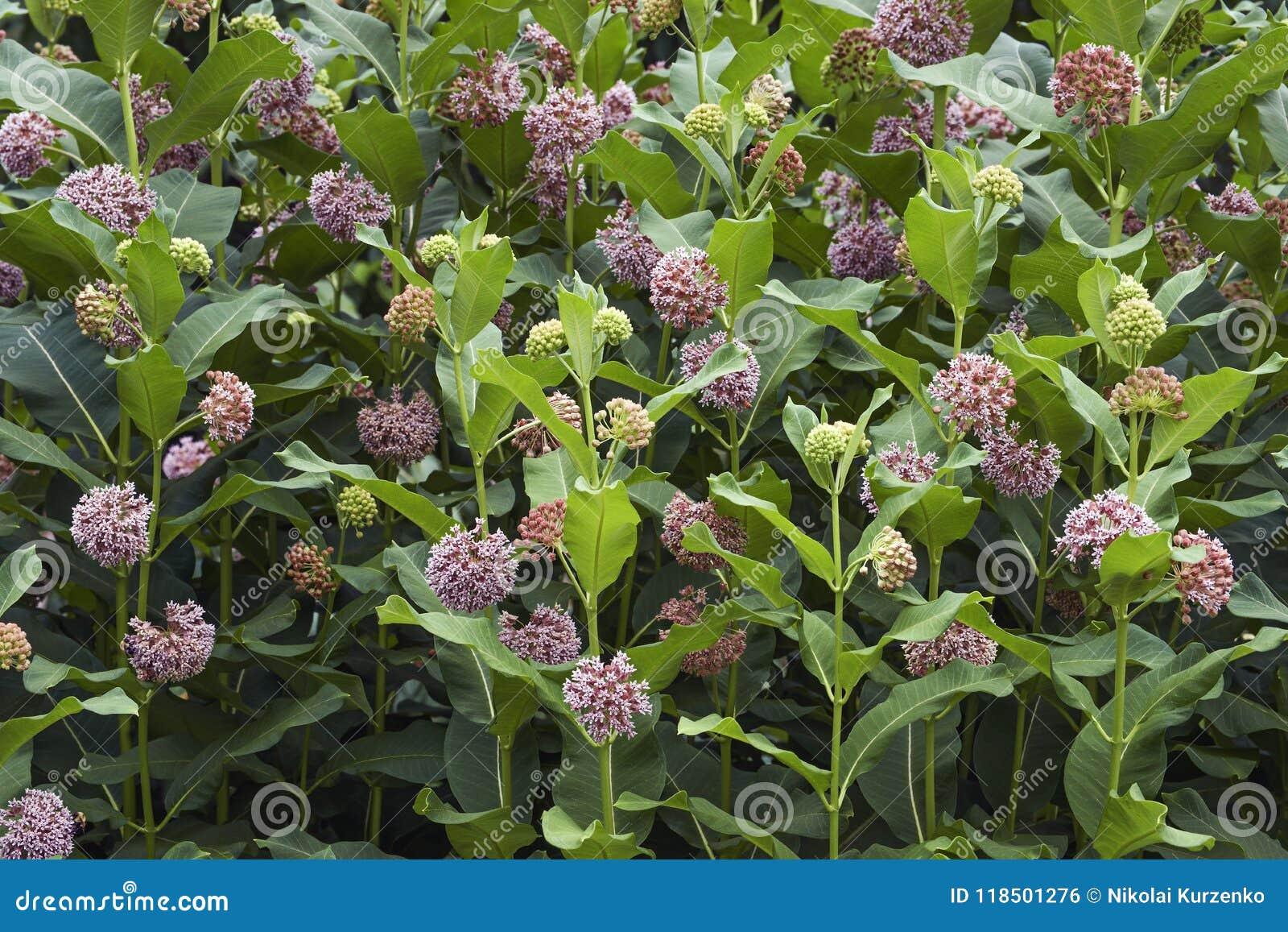 Flores comuns do Milkweed