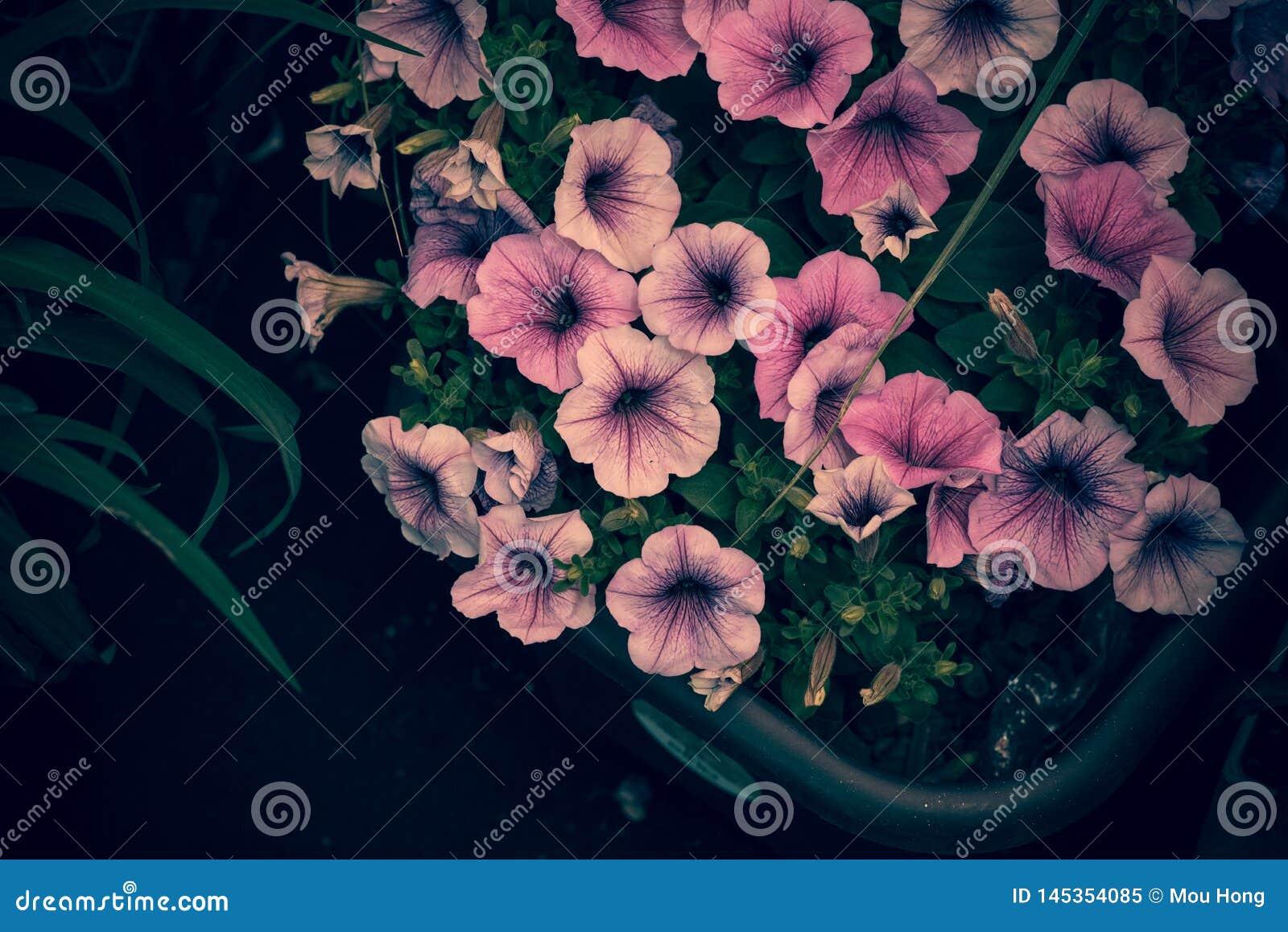 Flores con el color tímido de muchachas adolescentes