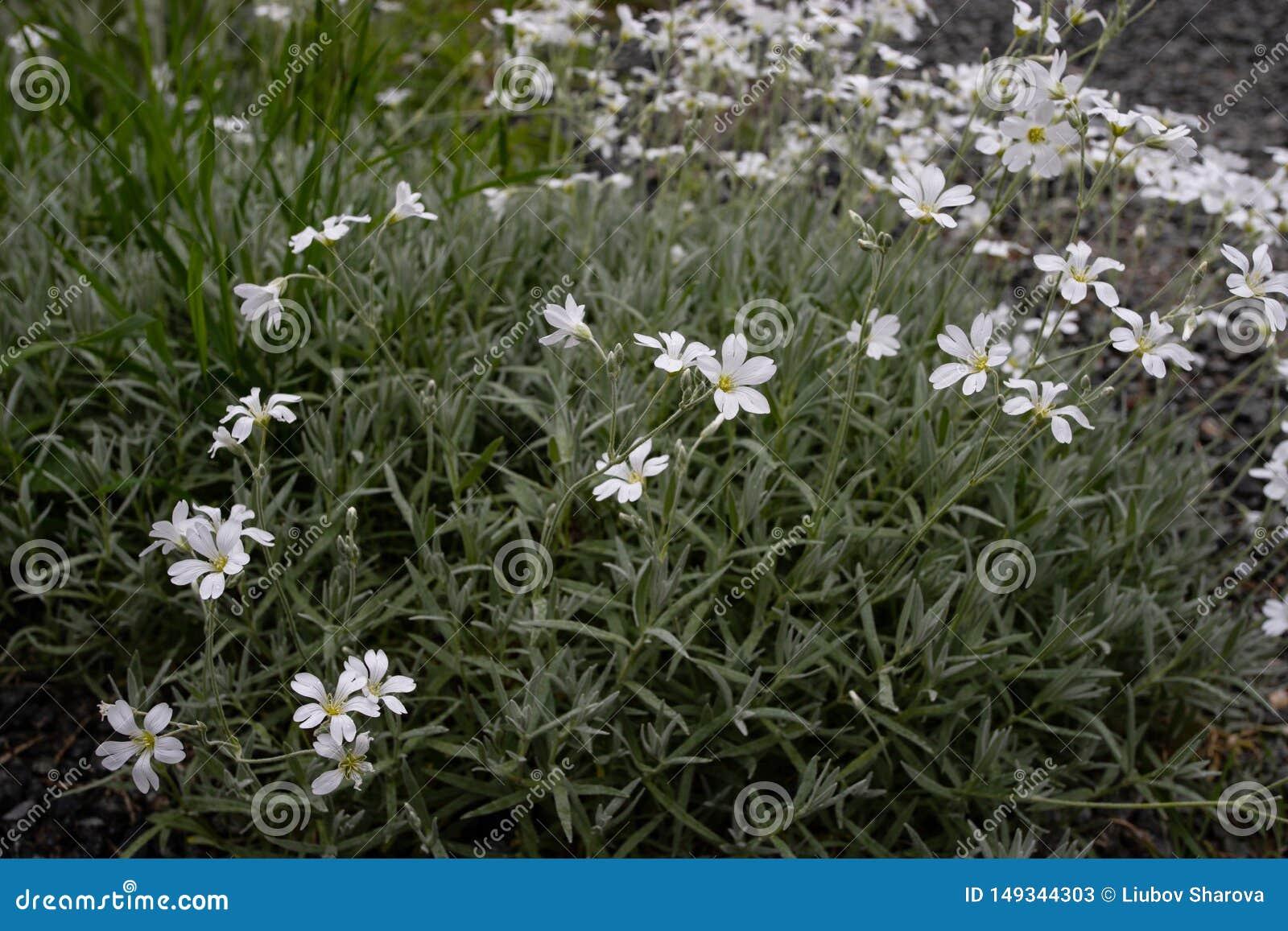 Flores consideravelmente brancas que florescem em um jardim