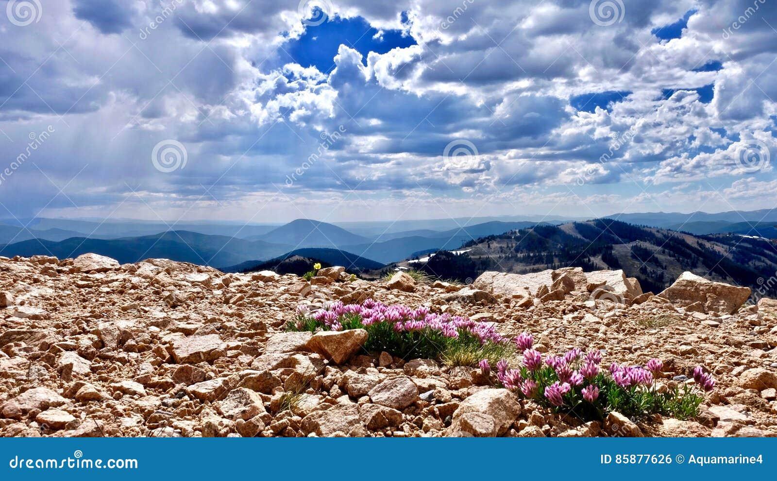 Flores cor-de-rosa alpinas do trevo em montanhas Alpinum do Trifolium ou trevo da montanha na passagem do monarca perto de Denver