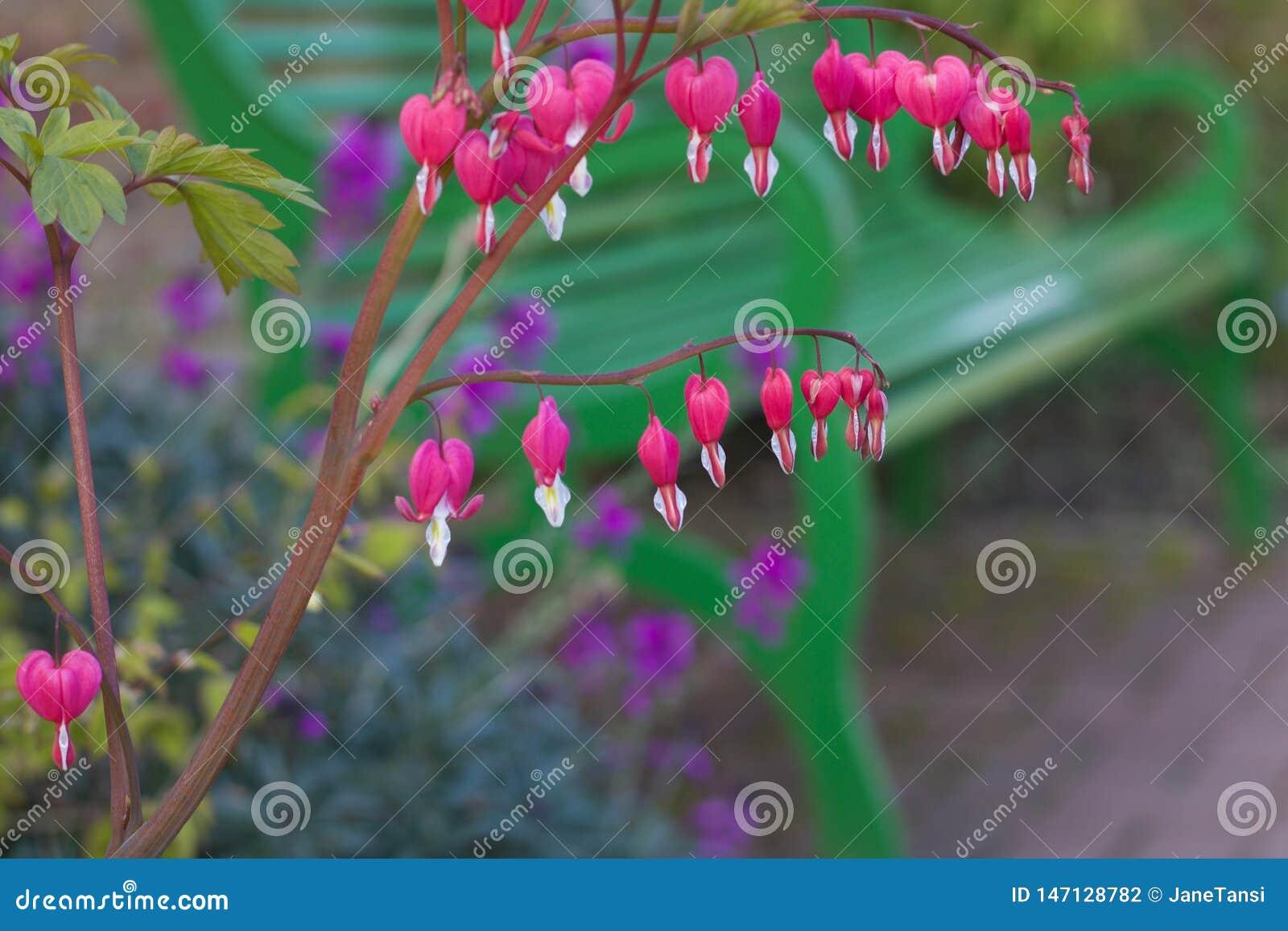 Flores cor-de-rosa bonitas do cora??o de sangramento com o banco verde no fundo