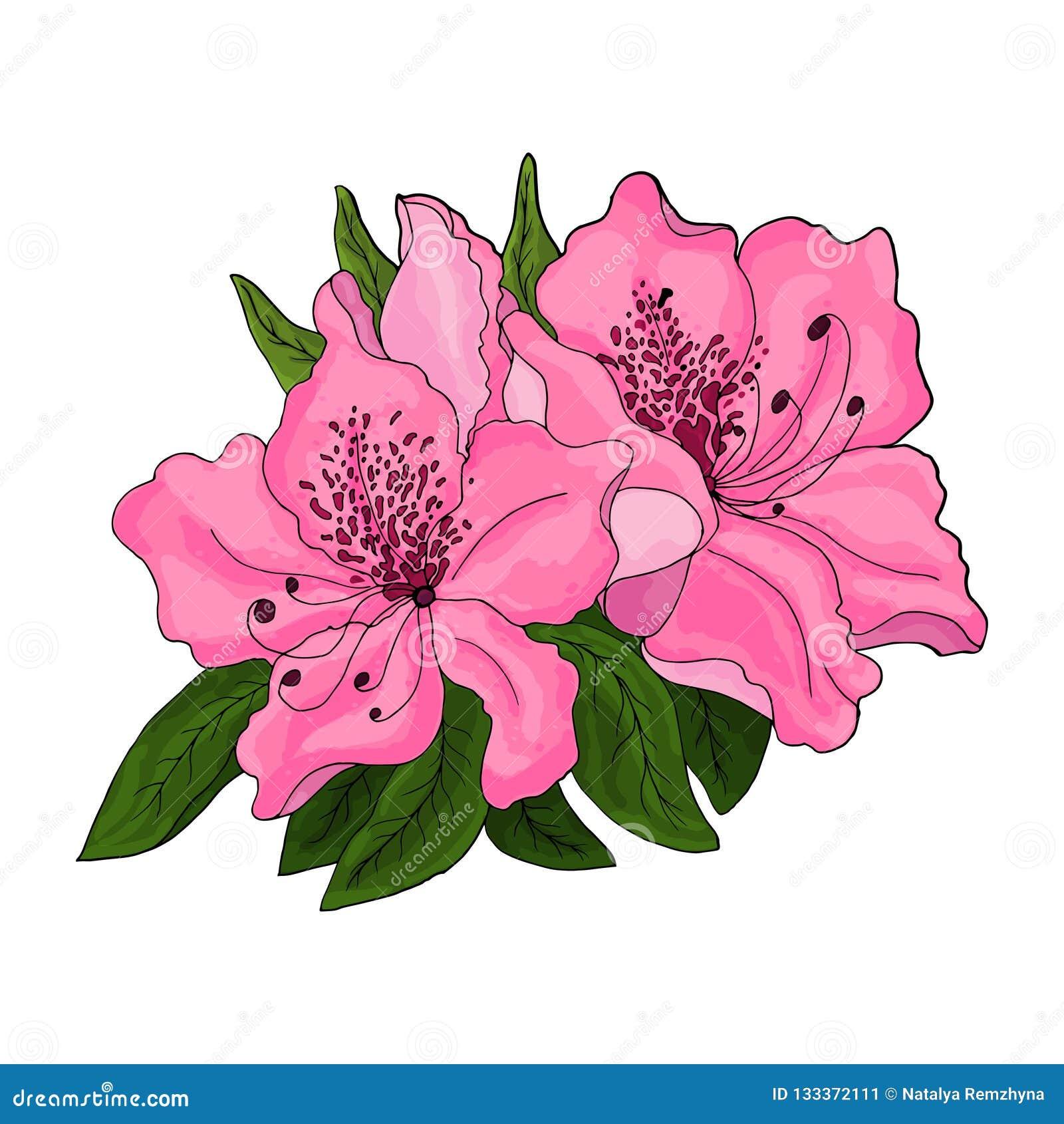 Flores cor-de-rosa brilhantes da azálea com folha verde em um fundo branco