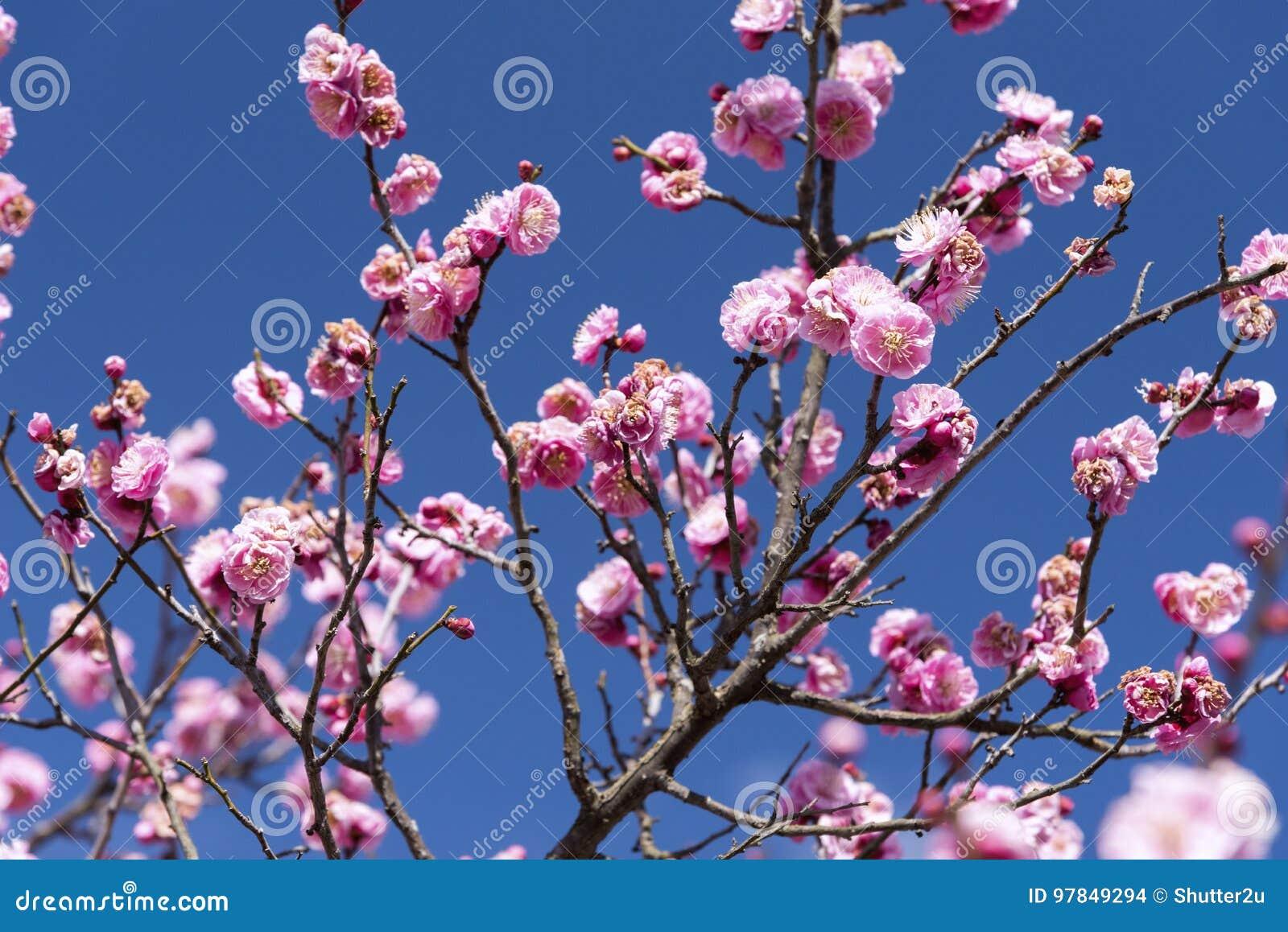 Flores cor-de-rosa da árvore ou do Ume de Cherry Plum no japonês, flor de japão, conceito da beleza, conceito japonês dos termas