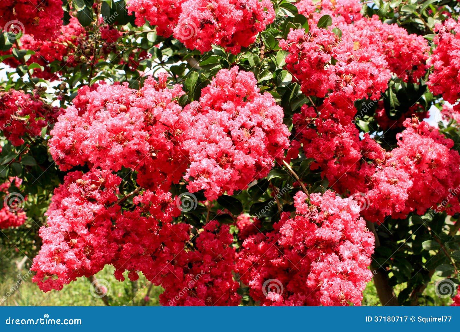 Flores Corderosa Da Murta De Crepe Na árvore Fotografia de Stock