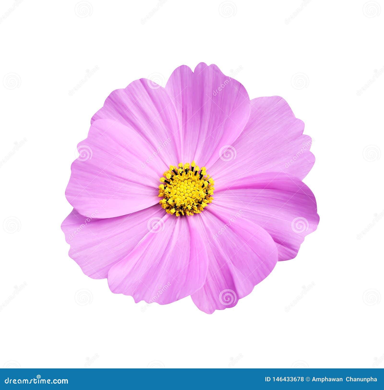 Flores cor-de-rosa da natureza da vista superior ou roxas brilhantes coloridas do cosmos com floresc?ncia amarela dos testes padr
