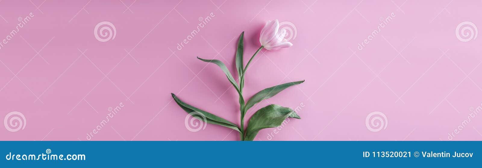 Flores cor-de-rosa das tulipas no fundo cor-de-rosa Mola de espera