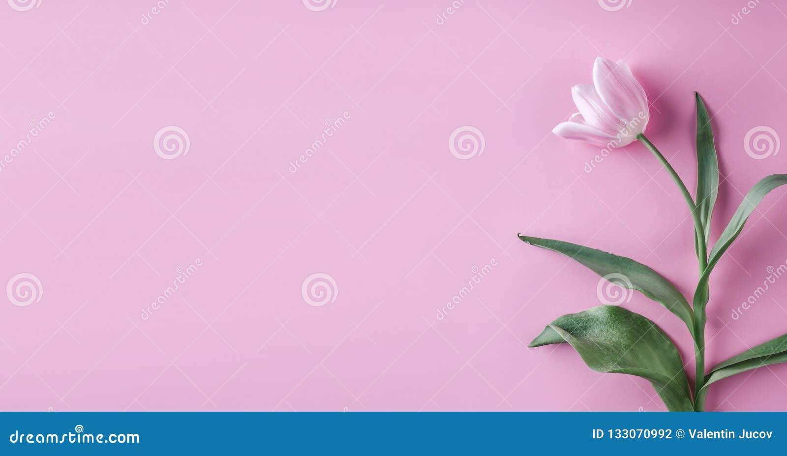 Flores cor-de-rosa das tulipas no fundo cor-de-rosa Mola de espera Cartão de easter feliz Configuração lisa, vista superior