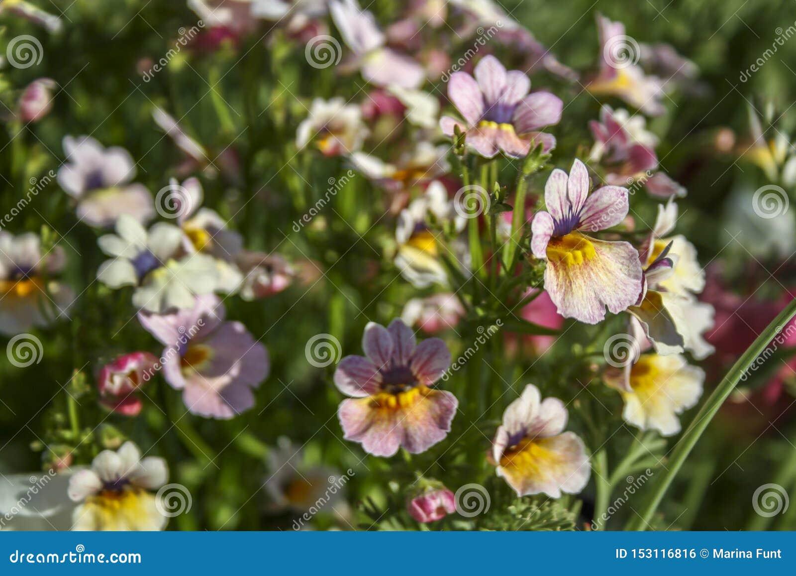Flores cor-de-rosa delicadas que assemelham-se à sapata de uma mulher Foco seletivo, apropriado para o fundo