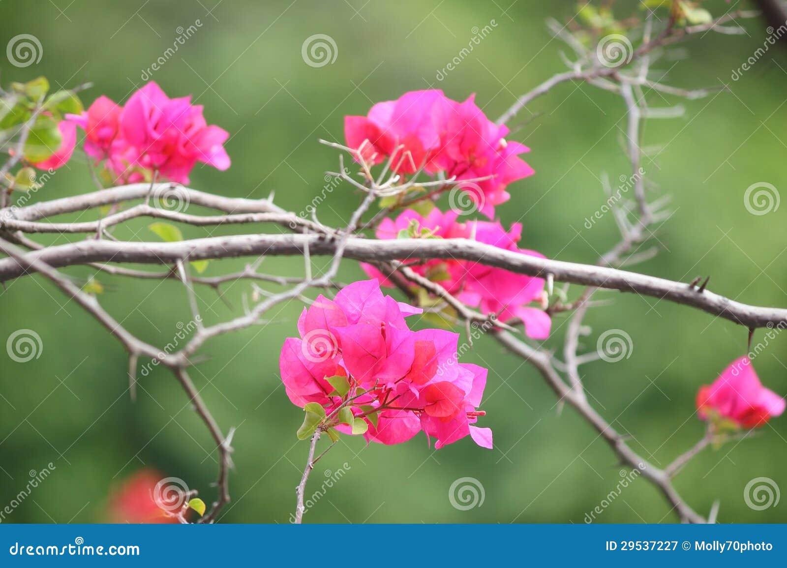 Flores cor-de-rosa do bougainvillea