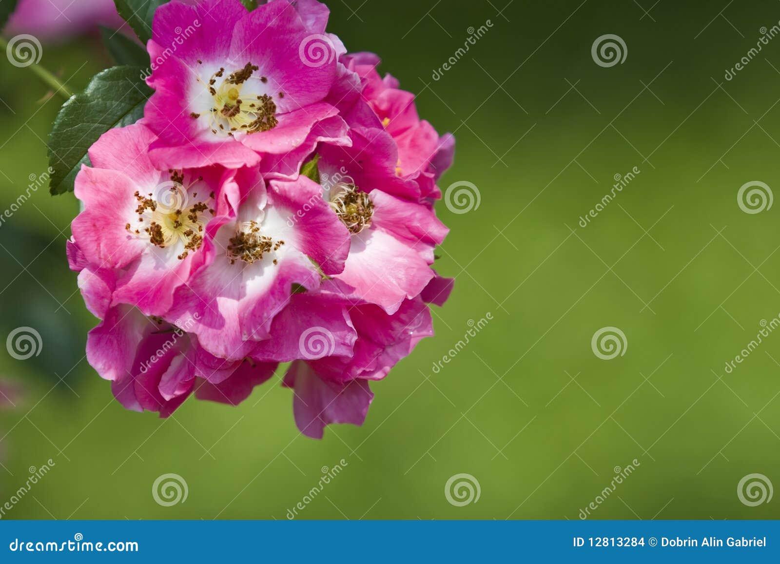 Flores cor-de-rosa do canina de Rosa do cão